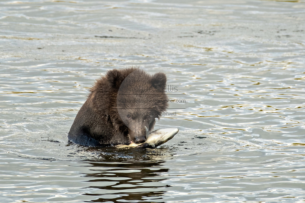 A Brown Bear cub eats a Sockeye Salmon along the lower Brooks River lagoon in Katmai National Park and Preserve September 16, 2019 near King Salmon, Alaska. The park spans the worlds largest salmon run with nearly 62 million salmon migrating through the streams which feeds some of the largest bears in the world.