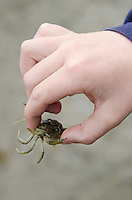 A child holds a Green Crab (Carcinus maenas) carefully, wary of the small claws. Acadia National Park, Maine.