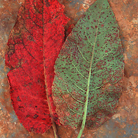 Red leaf and mottled green and red leaf of Broad-leaved dock or Rumex obtusifolius lying on rusty metal