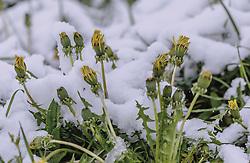 THEMENBILD - Löwenzahn unter einer dünnen Schneeschicht, aufgenommen am 05. Mai 2019, Kaprun, Österreich // Dandelion under a thin layer of snow on 2019/05/05, Kaprun, Austria. EXPA Pictures © 2019, PhotoCredit: EXPA/ Stefanie Oberhauser