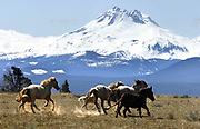 Wild horses dash on the high desert on the Warm Springs Reservation below Mount Jefferson's peak that reaches 10,497 feet. (Alan Berner / The Seattle Times, 2009)