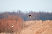 Short-eared Owl, Asio flammeus, and Northern Harrier, Circus cyaneus, Shiawassee River, Saginaw County, Michigan