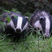Two Badgers, Carmarthenshire