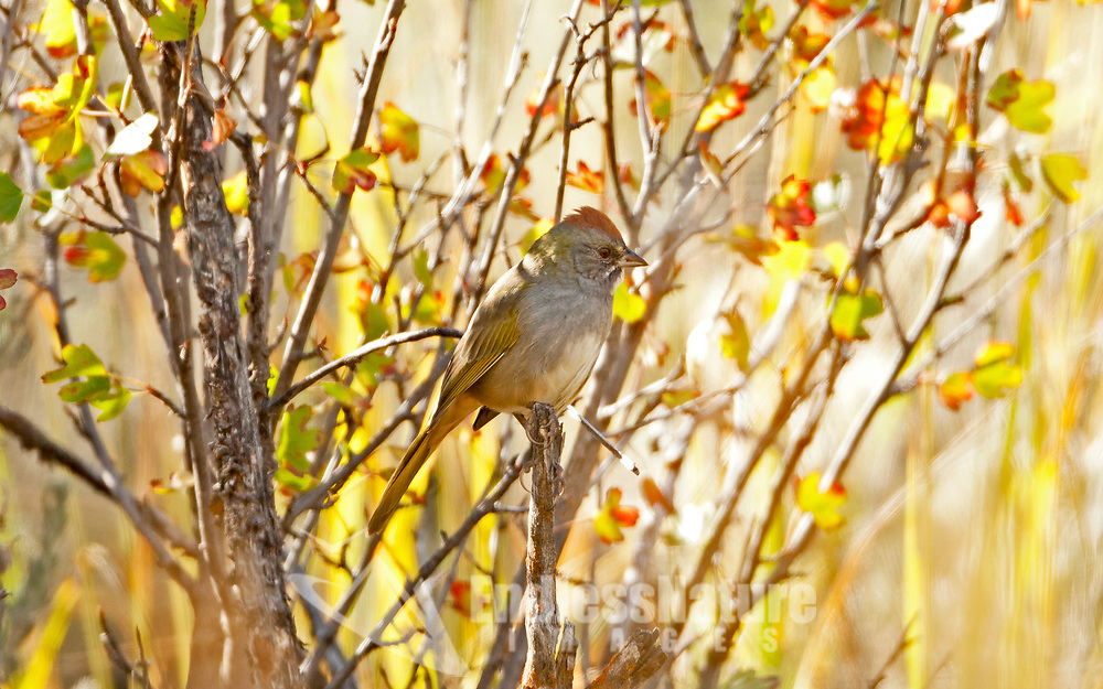 As the oak leaves start to change colors the Green Tailed Towhee thinks about migrating farther south for the winter.