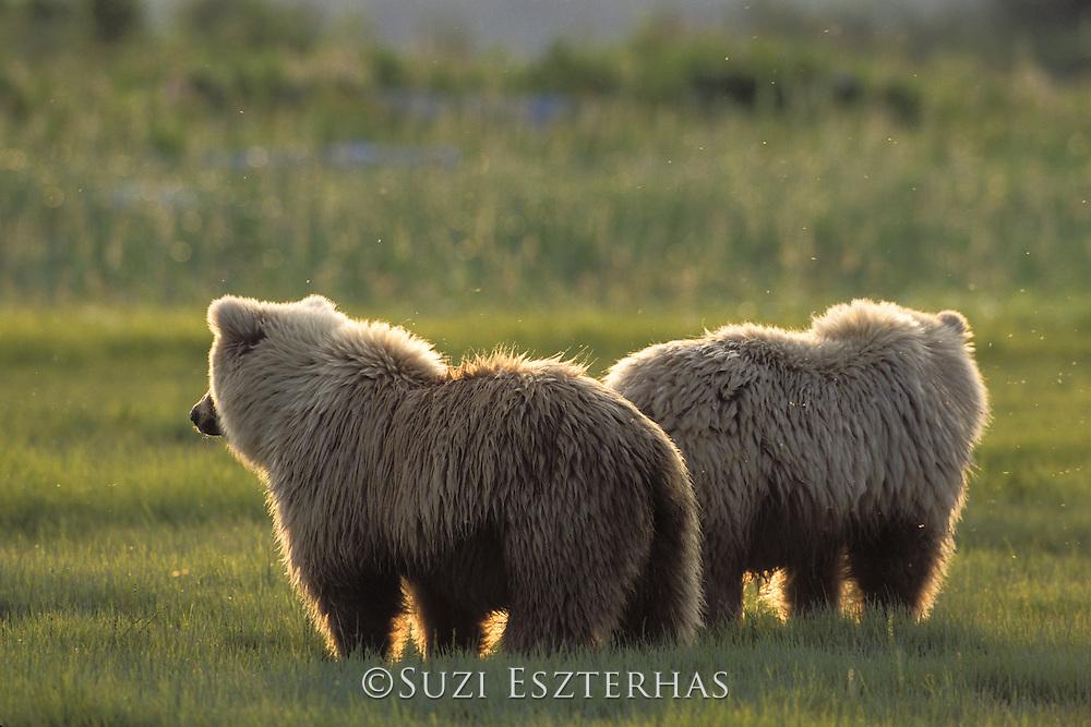 Alaskan Brown Bear<br /> Ursus arctos middendorffi<br /> Katmai National Park, Alaska