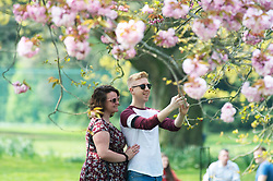 © Licensed to London News Pictures. 17/04/2019.<br /> Greenwich, UK. A couple take a picture with the cherry blossom, A sunny afternoon in Greenwich Park, London today as people look forward to an Easter weekend of sunshine. Photo credit: Grant Falvey/LNP