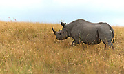 The critically endangered black rhino (Dicros bicornis) photographed in Maasai Mara, Kenya, in August 2013. This individual was killed by poachers a year after this photo was taken
