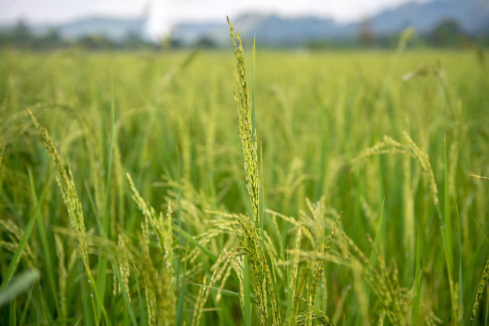 Closeup of African rice (Oryza glaberrima) Gbedin village, Nimba County , Liberia