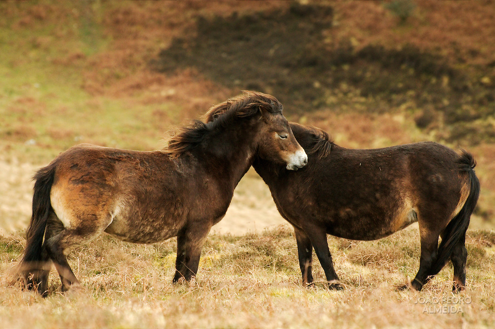 Ponies at the moors of Exmoor national park