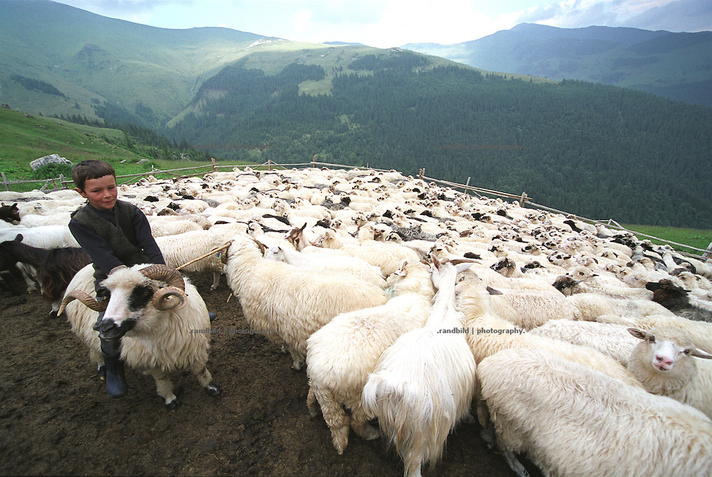 Ein Hirtenjunge reitet zum Spass auf einem grossen Schafbock mit gedrehten Gehörn in den nördlichen Karparten. ..A sehperd boy rides on a sheep ram in the carpartian mountains in romania.
