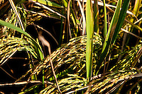 Rice ready to harvest.