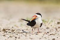 African Skimmer alarm calling, Chobe River, Kasane, Botswana.