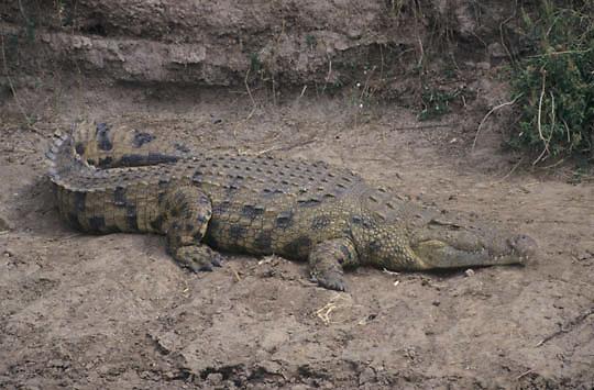 Nile Crocodile, (Crocodylus niloticus) Sunning self on bank of Mara River. Masai Mara Game Reserve. Kenya. Africa.