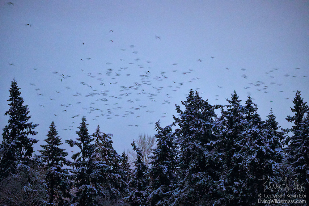 A long exposure captures the motion of a murder of American crows flying over snow-covered trees along the Sammamish River in Bothell, Washington. During the winter months, 15,000 crows roost each night in the area.