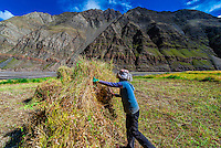 Farmers harvesting barley, near Gyangze, Tibet (Xizang), China.