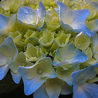 Flower photography of a beautiful blue blooming hydrangea photographed in Natick, MA. <br />
