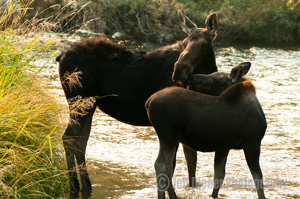 A mother moose and calf wade through a creek in Jackson Hole, Wyoming.