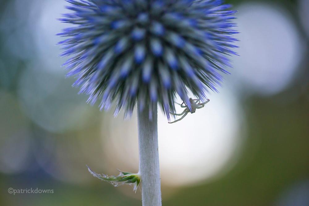 Spider on a globe thistle flower.