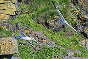 Northern Gannet - Morus bassanus flying by the cliff face with rocks lichens and grass showing