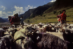 POKHARA, NEPAL - OCTOBER 1992 - Nepalese men tend to their flock of goats in the foothills of the Annapurna mountain range near Pokhara, Nepal. (PHOTO © JOCK FISTICK)