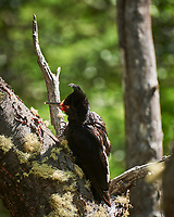 Female Magellanic woodpecker looking for food. Image taken with a Nikon D3x camera and 70-300 mm VR lens (ISO 100, 300 mm, f/5.6, 1/100 sec).