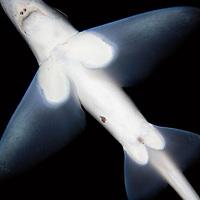Ghost shark, Chimaera monstrosa, Trondheimsfjorden, Norway