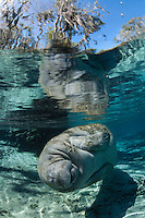 Florida manatee, Trichechus manatus latirostris, a subspecies of the West Indian manatee, endangered. An adult female manatee stretches her whiskery snout  in the warm shallow waters that rim the springs. Tranquil and undisturbed behavior. Vertical orientation showing some sky and trees with clear water and warming sun rays. Three Sisters Springs, Crystal River National Wildlife Refuge, Kings Bay, Crystal River, Citrus County, Florida USA.