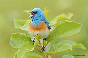 A male lazuli bunting belts out a song for the nearby females in the Mission Valley.