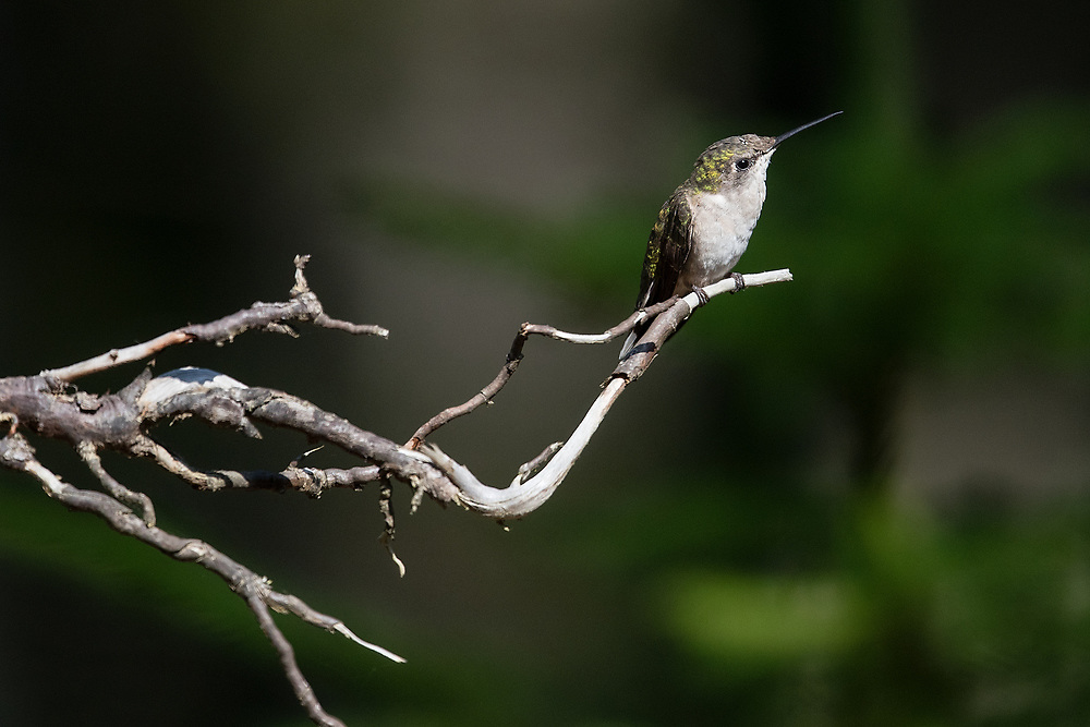 Ruby Throated Hummingbird, Bass Harbor, Maine