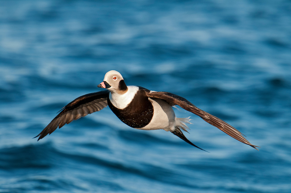 Long-tailed Duck, Clangula hyemalis, male, Barnegat Light, New Jersey