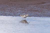 Curlew Sandpiper photo Hawaii