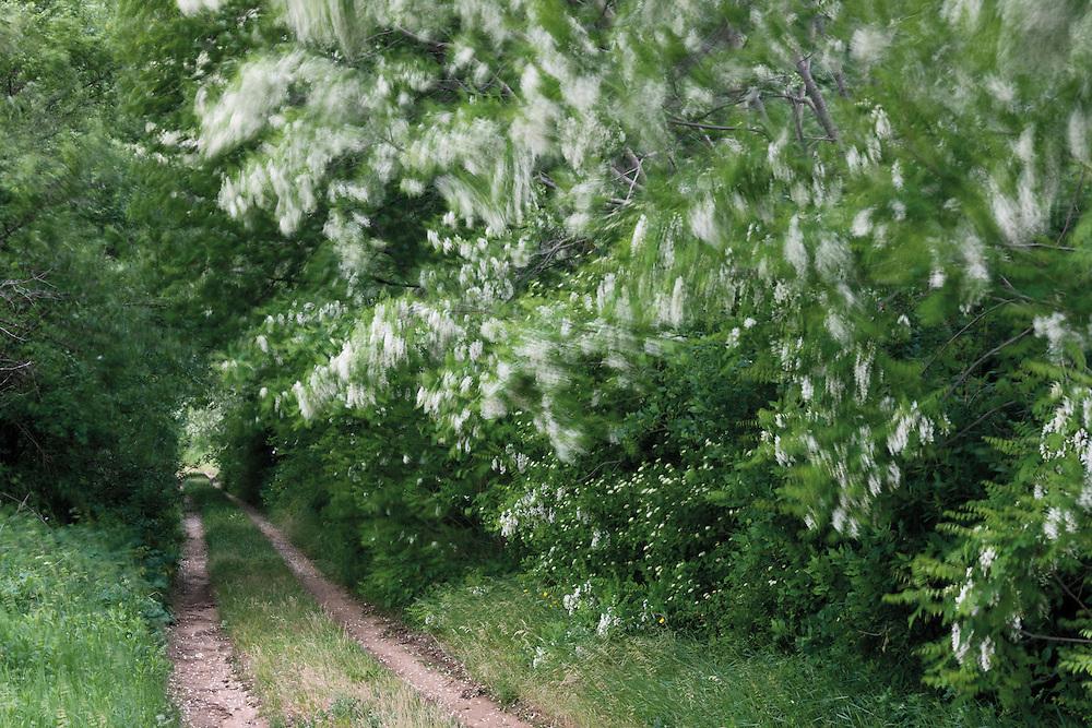 One of the secondary roads of the Livansko Polje, with black locust (Robinia pseudoacacia), in a day that the strong Bora wind blowing. Caprazlije area. Livasnsko Polje. May 2009. Bosnia-Herzegovina. <br /> Elio della Ferrera / Wild Wonders of Europe