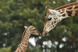 A nine-day-old Rothschild's giraffe calf (left) explores its enclosure at West Midlands Safari Park in Bewdley, Worcestershire.