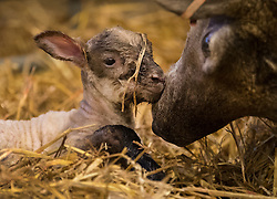 © Licensed to London News Pictures. 08/01/2017. Fetcham, UK. A minutes old lamb receives attention from it's mother in a barn on Barracks farm. 80 ewes are expected to give birth to 80-90 lambs for the Easter market. The farm is owned by the Conisbee family who have  supplied their own butchers shops in nearby Horsley for over 250 years. Photo credit: Peter Macdiarmid/LNP