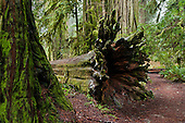 California: northern coast, redwoods