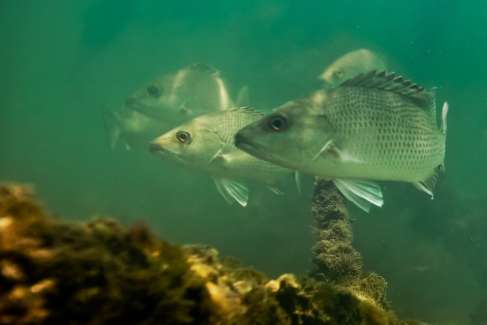 School of Mangrove Snapper photographed in a mangrove tunnel in Terra Ceia Bay, Florida (2010).