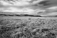 Kenya - Maasai Mara - Cheetah - Acinonyx jubatus - I consider this a kind of landscape shot but the great thing about it is that in the same shot I could have the cloudy sky above the open land of short grass, idea battle field for cheetah.