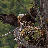 Bald eagle on nest with chicks. Earthquake Lake, Montana.
