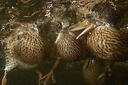 Young mallard ducks (Anas platyrhynchos) feeding underwater.