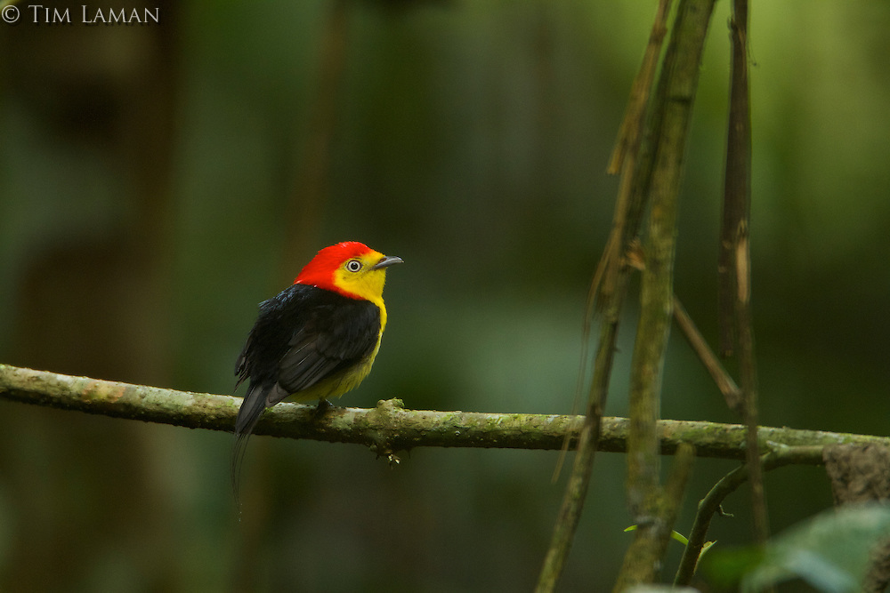 Wire-tailed Manakin (Pipra filicauda)<br />