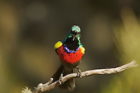 Northern Double-collared Sunbird (Cinnyris reichenowi)