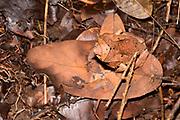 Very well campuflaged Bornean Horned Frog (Megophrys nasuta) from Kubah National Park, Sarawak, Borneo