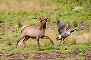 CANADA, Jasper National Park.Elk (Cervus elaphus) calf chasing a Canada goose