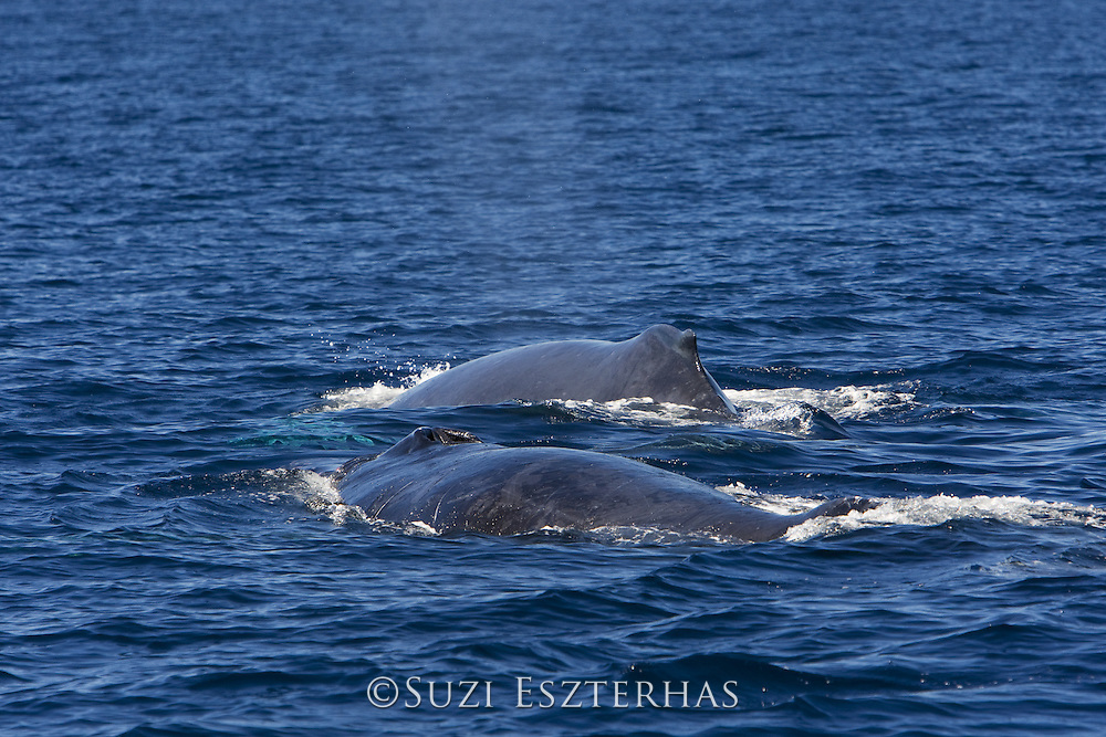 Humpback Whale<br /> Megaptera novaeangliae<br /> Sea of Cortez, Baja California, Mexico