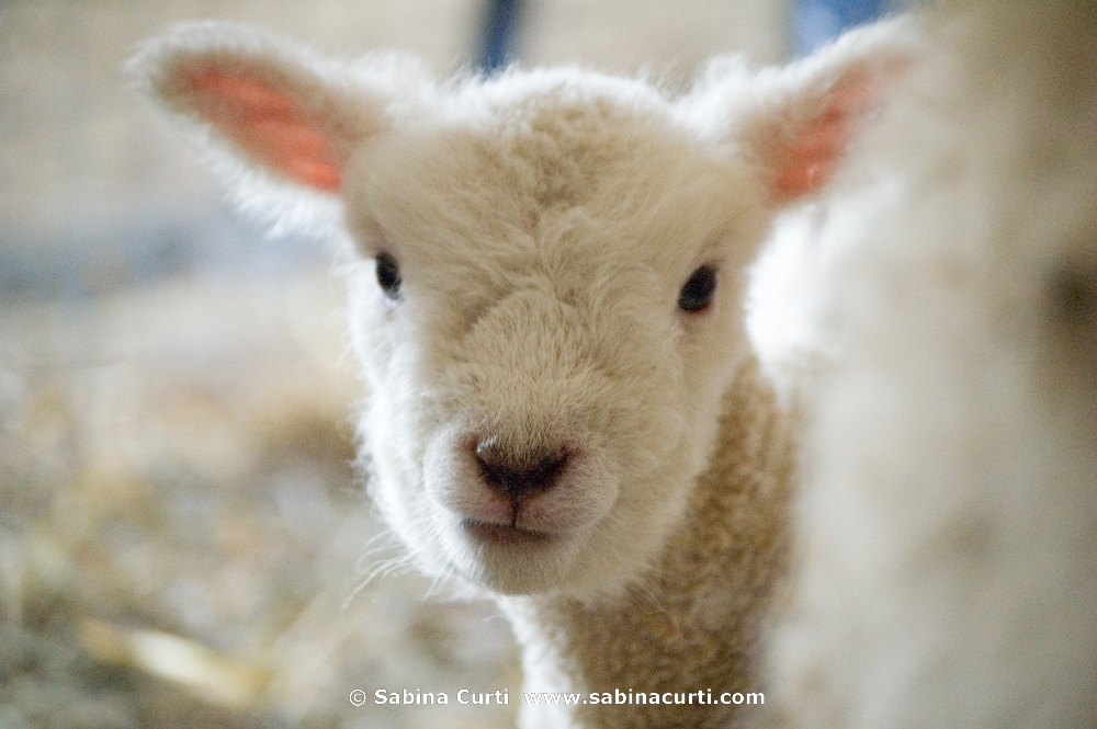 Family farm, newborn lamb on sustainable family farm, Hillsdale, NY