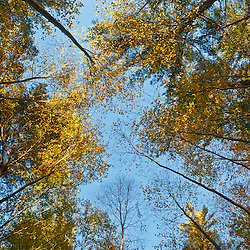 Birch trees in fall in the forest at Elmwood Farm in Hopkinton, Massachusetts.