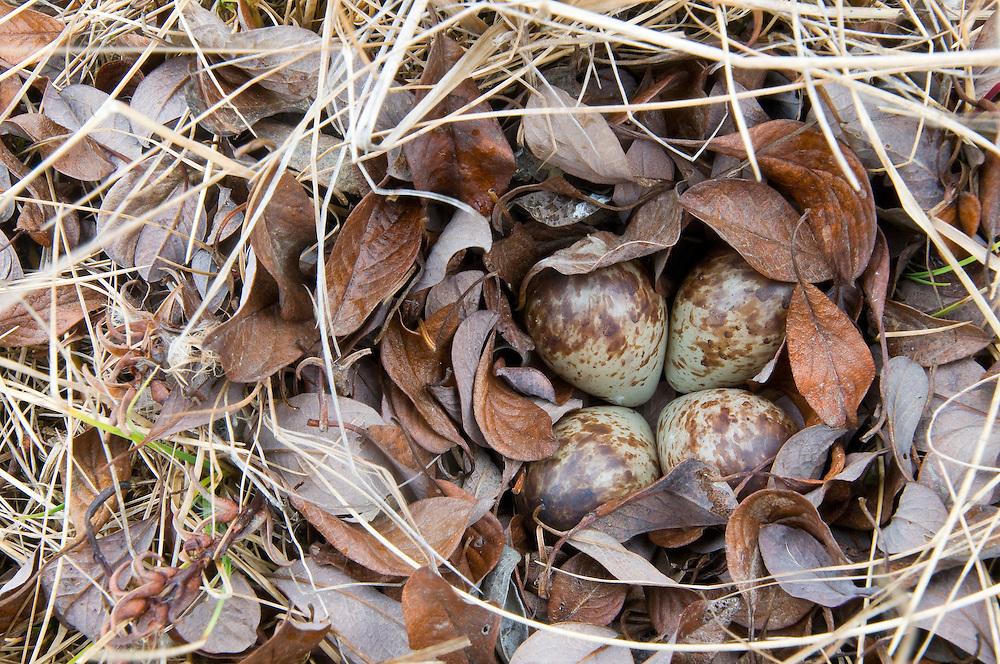 Semipalmated Sandpiper nest, Calidris pusilla, Yukon Delta NWR, Alaska