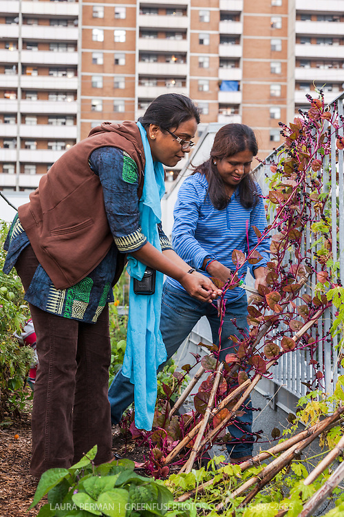 Two gardeners havest red Malabar spinach on an urban rooftop vegetable garden.