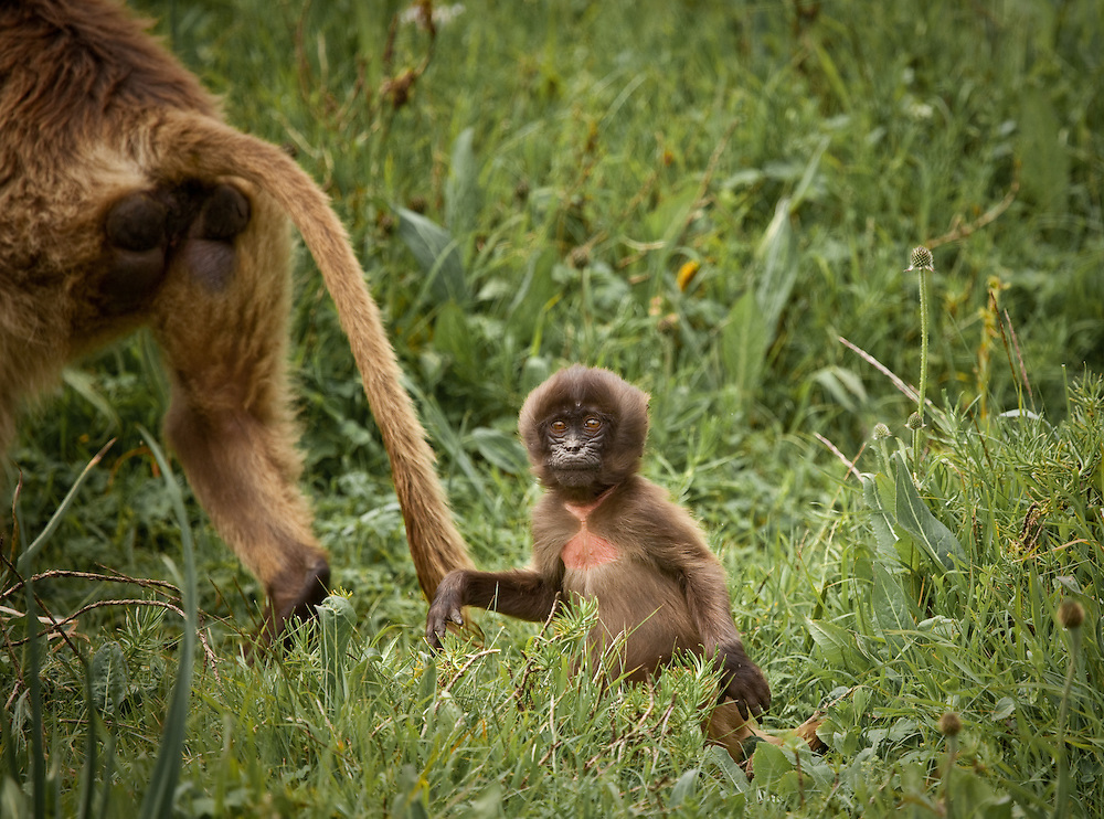 Baby gelada baboon with mother