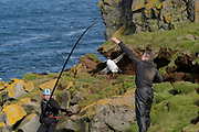 A&eth;alsteinn &Ouml;rn Sn&aelig;&thorn;&oacute;rsson, <br /> &THORN;orkell Lindberg &THORN;&oacute;rarinsson, capture a<br /> Br&uuml;nnich's guillemot (Uria lomvia) to replace geolocator. Staff from N&aacute;tt&uacute;rustofa Nor&eth;austurlands (Northeast Iceland Nature Research Centre) catch seabirds at Skoruv&iacute;kurbjarg bird cliffs on Langanes Peninsula, Iceland to fit and replace geolocators to monitor the bird's movements.